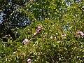 Rosa multiflora Thunb. (33069445302).jpg