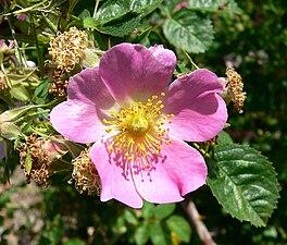 Rosa rubiginosa 2.jpg