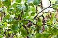 Rose-Ringed Parakeet - 9-23-14 - Bois de Vincennes, Paris, FR (19528943563).jpg