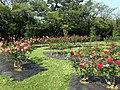 Rose Garden in Umino Nakamichi Seaside Park 3.JPG
