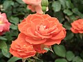 Rose from Lalbagh flower show Aug 2013 8516.JPG