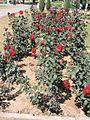 Rose garden Chandigarh during spring season 2017.jpg