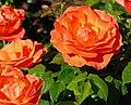 Roses, Dixon Park, Belfast (5) - geograph.org.uk - 1369164.jpg