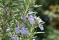 Rosmarinus officinalis 11zz.jpg