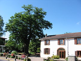 Old oak tree and town hall
