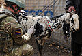Royal Army Veterinary Corps Officer Gives a Healthcheck to Afghan Livestock MOD 45152539.jpg
