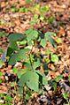 Rubus canescens - Filz-Brombeere (10800103895).jpg