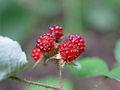 Rubus parvifolius, fruit 01.jpg