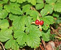 Rubus pedatus (fruits s2).jpg
