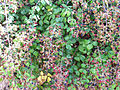 Rubus ulmifolius bayas 2012-8-05 SierraMadrona.jpg