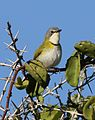 Rudd's apalis, Apalis ruddi, at Ndumo Nature Reserve, KwaZulu-Natal, South Africa (28652807770).jpg
