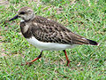 Ruddy Turnstone (Arenaria interpres) RWD2.jpg