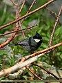 Rufous-naped Tit (Periparus rufonuchalis) (22775142493).jpg
