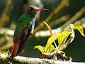 Rufous-tailed Hummingbird (Amazilia tzacatl) 2.jpg