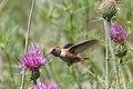Rufous Hummingbird (immature male) - Rustler Park - Cave Creek - AZ - 2015-08-16at10-56-0616 (21014797794).jpg