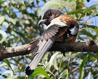 Rufous treepie - Nominate subspecies (Kolkata, India)