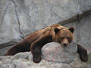 Brown bear, this image resting on a rock, forelimbs hanging over the edge and looking at the camera