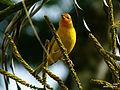 Saffron Finch (Sicalis flaveola) (5516836776).jpg