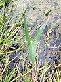 Sagittaria sagittifolia sl8.jpg