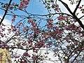 Saint Petersburg. Chinese Garden. Sakura tree2016 05.jpg