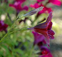 Salpiglossis sinuata flower side view