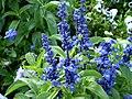 Salvia farinacea 0.2 R.jpg