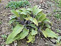 Salvia nutans 2017-04-17 7838.jpg