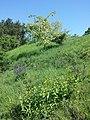 Salvia pratensis (subsp. pratensis) sl4.jpg