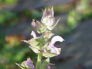 Salvia sclarea - Image: Salvia sclarea 1