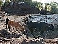 San Ramon Choluteca Honduras cows passing by.jpg