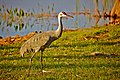 Sandhill Crane (Grus canadensis pratensis) (6998565229).jpg