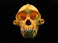 Sapajus skull front view.JPG