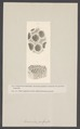 Sarcinula - Print - Iconographia Zoologica - Special Collections University of Amsterdam - UBAINV0274 007 03 0071.tif