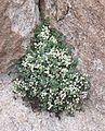 Sarcocapnos enneaphylla - Riba 20160510.jpg