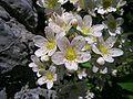 Saxifraga paniculata2.JPG