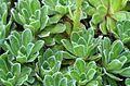 Saxifraga paniculata MOB Zabrze.jpg