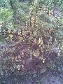 Saxifragales - Ribes uva-crispa 1 - 2011.07.11.jpg