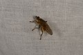 Scathophaga stercoraria (35671243684).jpg