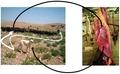 Schematic life cycle of E. granulosus.tif