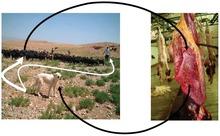 stádo ovcí s ovčáckým psem a ovčí plíce