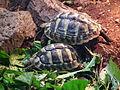 Schwaigern Leintalzoo Griechische Landschildkröten 2013.JPG