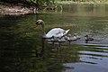 Schwan mit Küken auf einem See im Breisacher Rheinwald.jpg
