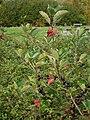 Schwarze Apfelbeere Hesepe 2010.jpg