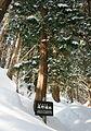 Sciadopitys verticillata in Mount Nagiso.jpg