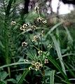 Scirpus microcarpus FWS-1.jpg