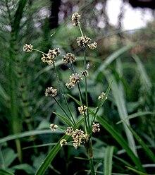Scirpus cernuus [isolepis gracilis] - Glasshouse Works