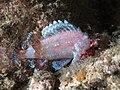 Scorpaenidae sp. (44878670744).jpg