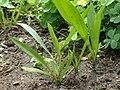 Scorzonera humilis kz01.jpg