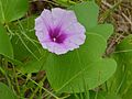 Sea Morning Glory (Ipomoea pes-caprae) (8538388287).jpg