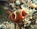 Sea Squirts (15429695570).jpg